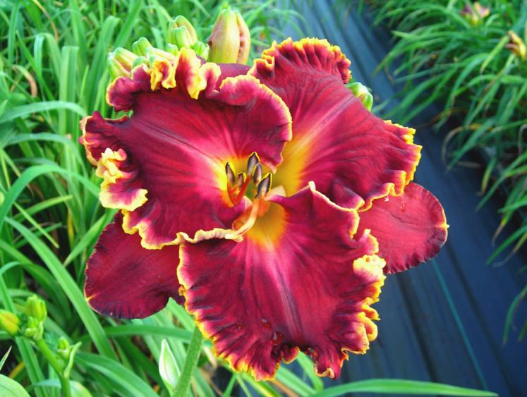 Spacecoast Casino Red Free State Daylily Society